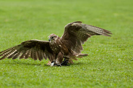trained bird falcon flying in nature environment, falconry conceptt