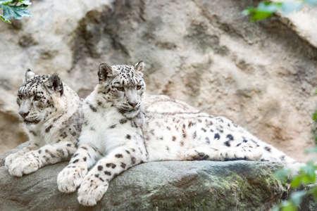 beautiful cat snow leopard - Irbis, Uncia uncia, endangered species in world