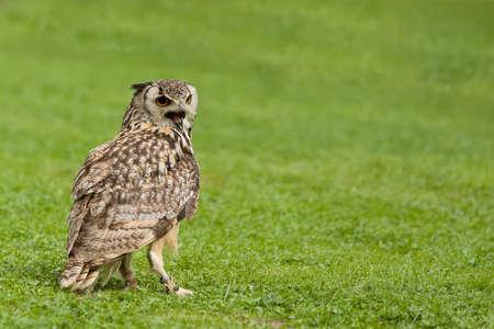 Eurasian Eagle Owl (Bubo bubo) Falconry bird trained for hunting Stock Photo