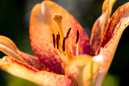 detail of beautiful lily flower in bloom, summer garden