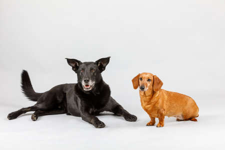 Studio shot of adorable crossbreed dog and small Dachshund, best friends