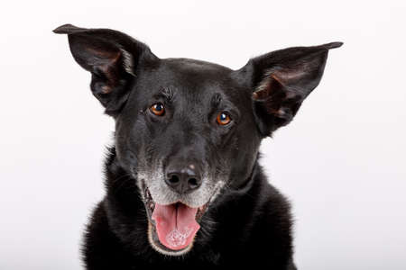 Studio shot of an very friendly and adorable crossbreed dog