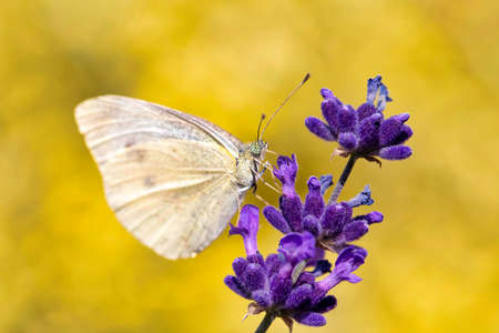 Small Cabbage White butterfly on violet lavender, summer concept Stock Photo