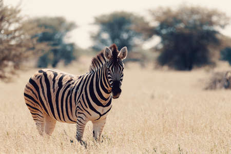 Beautiful stripped zebra in african bush. Etosha game reserve, Namibia, Africa safari wildlife. Wild animal in the nature habitat. This is Africa. Banco de Imagens