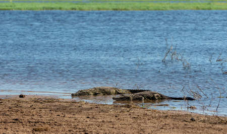 resting nile crocodile on river bank in Chobe river, Botswana wildlife