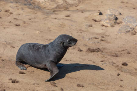 baby of brown fur seal in Cape Cross colony, Namibia wildlife Stock Photo