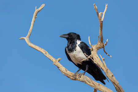 beautiful bird pied crow (Corvus albus) in namib desert, evening sun, Sossusvlei, Namibia, Africa wildlife