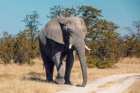 Majestic African Elephant in Chobe National Park, Botswana safari wildlife 免版税图像