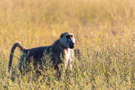monkey Chacma Baboon (Papio anubis) in african savanna, Bwabwata Caprivi strip game park, Namibia, Africa safari wildlife