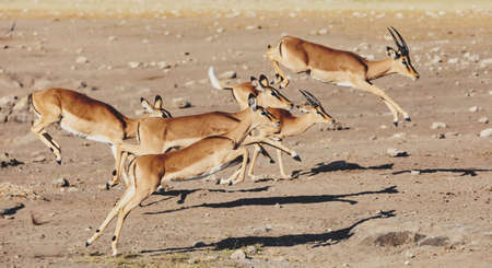 jumping Impala antelope female (Aepyceros melampus) Etosha Namibia, Africa safari wildlife and wilderness 免版税图像 - 114919176