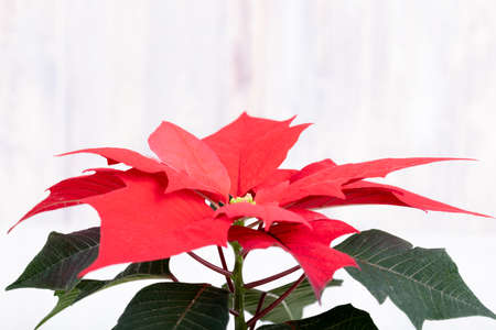 macro of beautiful flower red Poinsettia called christmas star