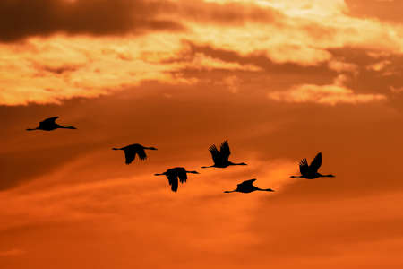 silhouette of flying flock of Common Crane on morning sky, migration in the Hortobagy National Park, Hungary, puszta is famous ecosystems in Europe