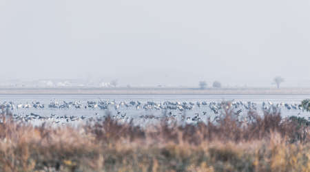 flock of Common Crane on lake, migration in the Hortobagy National Park, Hungary, puszta is one of the largest meadow and steppe ecosystems in Europe