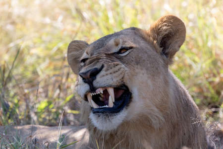young lion (Panthera leo) without a mane showing teeth and roaring in natural habitat Savuti game reserve. Botswana Africa safari wildlife