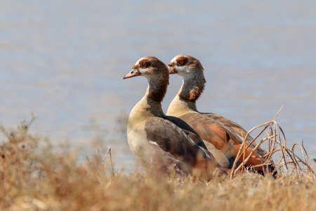 couple of water bird Egyptian goose (Alopochen aegyptiaca) in natural habitat, Okavango Delta, Botswana, Africa wilderness Stock fotó