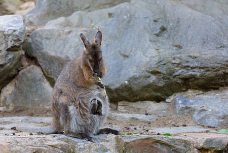 cute kangaroo mother with baby in bag, Red necked Wallaby (Macropus rufogriseus on rock Foto de archivo