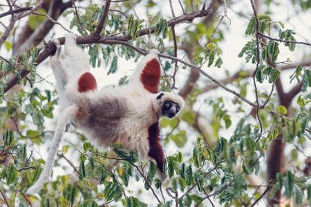 endemic Lemur Coquerel's sifaka, Propithecus coquereli, feeding on tree. Ankarafantsika National Park, Madagascar Wildlife Stok Fotoğraf