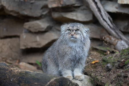 portrait of beautiful cat, Pallas's cat, Otocolobus manul resting. Small wild cat with a broad but fragmented distribution in the grasslands and montane steppes of Central Asia