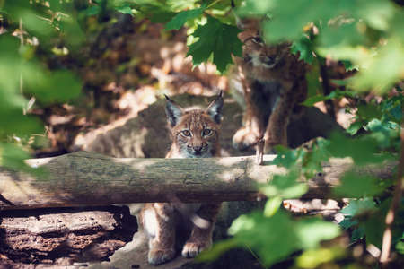 playful kitten of Lynx, during the autumn season. Czech Republic wildlife