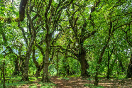 Harenna Forest, located in a highland region of the Bale Mountains. One of the few remaining natural forests in the country. Oromia Region, Ethiopia wilderness Stok Fotoğraf - 125369063