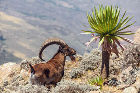 Very rare Walia ibex, Capra walia, one of the rarest ibex in world. Only about 500 individuals survived in Simien Mountains National park in Northern Ethiopia, Africa