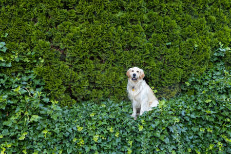 happy Golden Retriever dog on natural green background in summer. Dog guarding house against intruders.