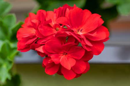 Pelargonium known as geranium, with red flowers, home decorative plant