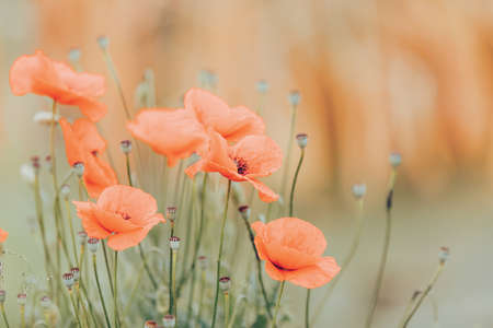 Beautiful blooming red poppy flower in field on sunny day in summer. Space for text, abstract colors