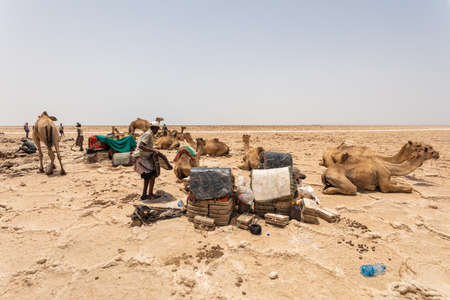 Camel caravan waiting for Afar man cutting and mining salt bricks (slabs) in primitive tools at salt desert in the Danakil depression. Stockfoto