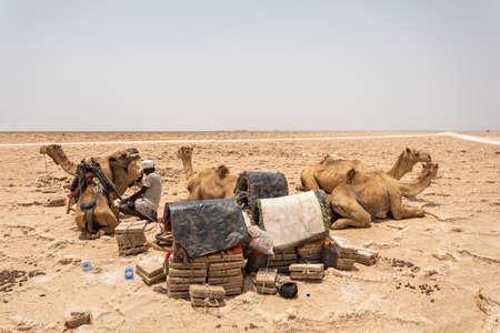 Camel caravan waiting for Afar man cutting and mining salt bricks (slabs) in primitive tools at salt desert in the Danakil depression.