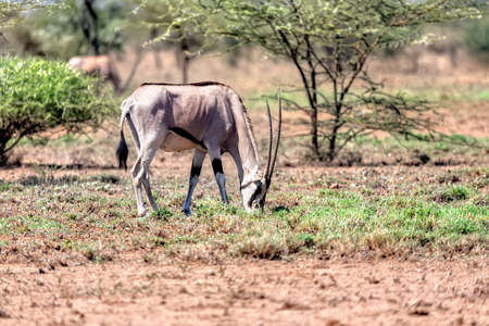 East African oryx, Oryx beisa or Beisa, in the Awash National Park in Ethiopia.