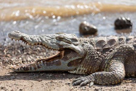 big nile crocodile Crocodylus niloticus, largest fresh water crocodile in Africa resting on sand in Awash Falls, Ethiopia, Africa wildlife