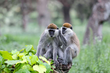 Vervet monkey family in social Grooming. Chlorocebus pygerythrus in Hawassa - Awasa city park, Ethiopia wildlife