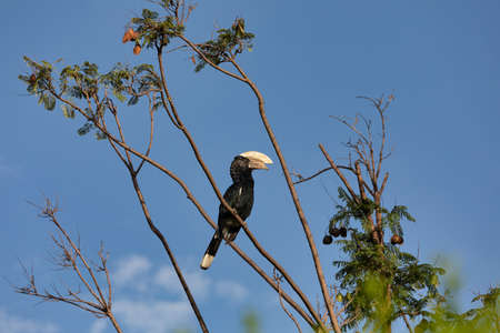 Big bird, Silvery-cheeked Hornbill, Bycanistes brevis, sits and feeding berries on tree, Ethiopia, Africa Wildlife