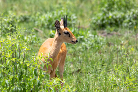 Oribi, Ourebia ourebi is small antelope found in eastern, southern and western Africa. Ethiopia, Senkelle Sanctuary, Africa wildlife