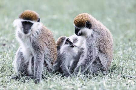 Vervet monkey family, small baby drink milk from mother. Chlorocebus pygerythrus in Hawassa - Awasa city park, Ethiopia wildlife Фото со стока