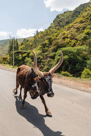 Ubiquitous Ethiopian cattle on the road. Brahman Or Zebu Bulls with long horns. Amhara, Ethiopia Stock Photo