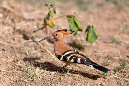 European Hoopoe bird, Upupa Epops, on the ground near the grass field. Ethipia Africa wildlife