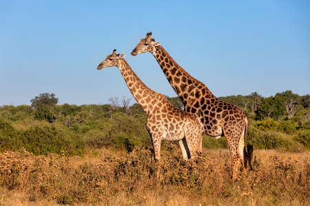 Jirafa sudafricana enamorada preparándose para el apareamiento, el Parque Nacional Chobe, la fauna de safari de Botswana