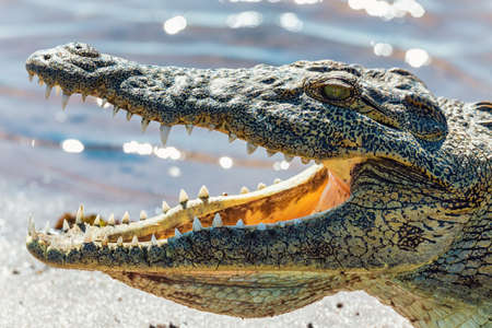 closeup of resting nile crocodile with opened mouth showing teeth in Chobe river, Botswana safari wildlife Фото со стока
