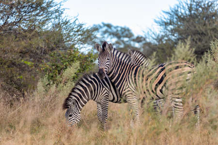 Beautiful stripped zebra head in african bush. Khama Rhino Sanctuary reservation, Botswana safari wildlife. Wild animal in the nature habitat. This is Africa.