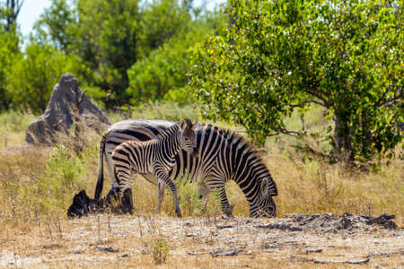 cute calf of zebra with mother in african bush. Moremi game reserve, Botswana, Africa safari wildlife