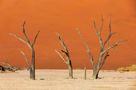 beautiful morning colors and dead acacia in hidden Dead Vlei landscape in Namib desert, dead acacia tree in valley Sossusvlei Namibia wilderness