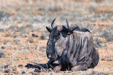 wild Blue Wildebeest Gnu resting in Pilanesberg National park, South Africa wildlife safari. Animal in nature habitat. Stockfoto
