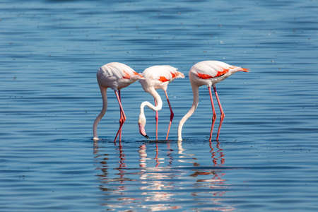 beautiful bird Rosy Flamingo feeding in shallow water, big colony in Walvis Bay reservation, Namibia, Africa Safari wildlife