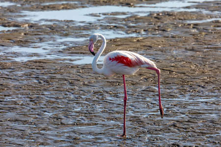 beautiful bird Rosy Flamingo feeding in mud, big colony in Walvis Bay reservation, Namibia, Africa Safari wildlife