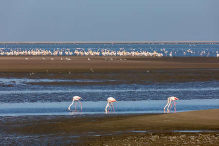 flock of beautiful bird Rosy Flamingo, big colony in Walvis Bay reservation, Namibia, Africa Safari wildlife