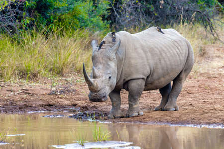 endangered species of white rhinoceros on small water in Pilanesberg National Park & Game Reserve, South Africa safari wildlife
