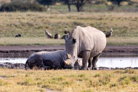 mother with baby of white rhinoceros Khama Rhino Sanctuary reservation, endangered species of rhino, Botswana wildlife, Wild animal in the nature habitat. Africa safari
