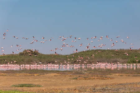 flying flock of beautiful bird Rosy Flamingo in Walvis Bay reservation, Namibia, Africa Safari wildlife